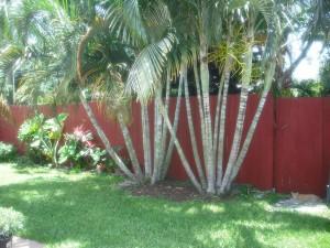 shade trees 002