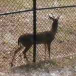 Okeeheelee Nature Center deer exhibit
