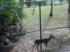 Okeeheelee Nature Trail Deer encounter
