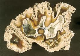 agatized coral florida stone