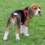 beagle-puppy-dog