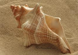fl conch shell