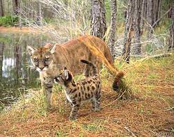 fla panther and baby