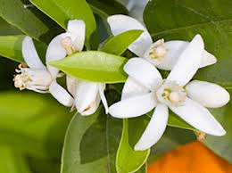 What is florida state flower west palm beach parks atmosphere throughout central and south florida during orange blossom time the orange blossom was selected as the state flower by the 1909 legislature mightylinksfo