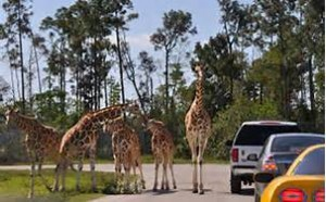 giraffes at lion country safari