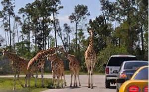 giraffes at lion country safari