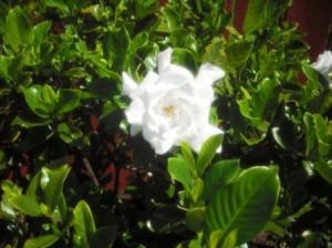 Gardenia 001