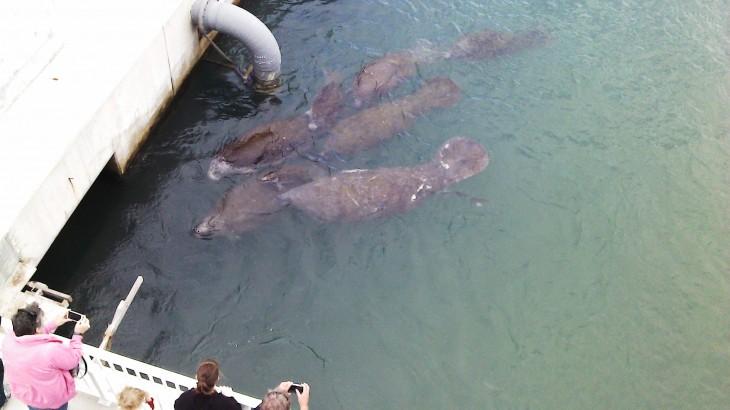 Manatees enjoying warm water