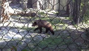 Grizzly Bear Cub PB Zoo