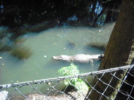 Palm Beach Zoo Alligator