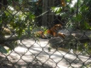 Palm Beach Zoo Tiger