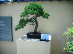 Morikami Museum 2016 Bonsai
