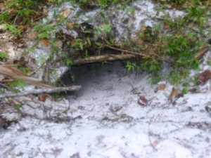 Gopher tortoise burrow