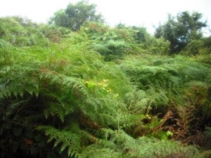 Giant ferns
