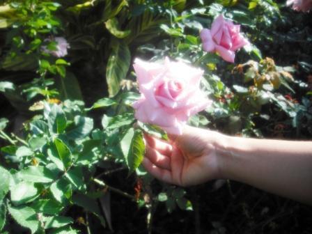 mounts-botanical-garden-pink-rose-dec-2016