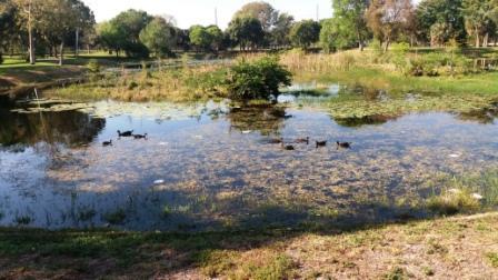 Dreher Park June 2017 Ducks