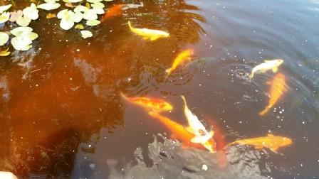Mounts Koi Pond